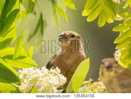 close up of young bullfinch standing between flowers and leaves
