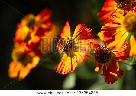 yellow orange chrysanthemum flowers in the garden