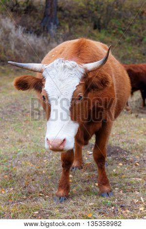 Brown cow on a pasture close up