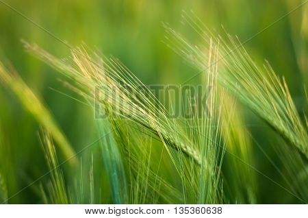 Bright Green Field Fluffy Spikelets, Closeup Of Green Grass, Spi