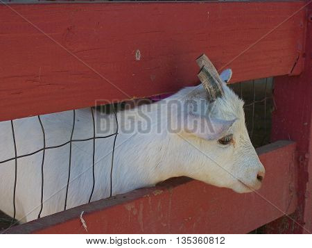White baby goat poking his head out through the slats of a red fence with wire