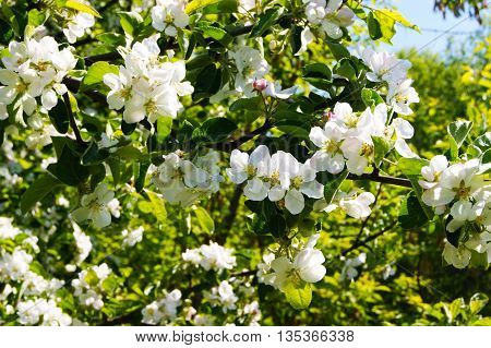 apple, decorative, dicotyledonous, escape, flora, flower, flowers, forest