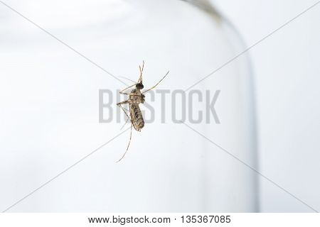 Closeup of mosquito on glass jar against white background