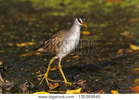 White-browed Crake Amaurornis cinerea Birds of Thailand