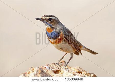 Bluethroat Luscinia svecica Male Birds of Thailand