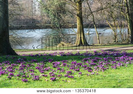 Diverse purple crocuses with tree in the middle of the spring in a meadow.