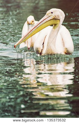 Group of Great white pelican - Pelecanus onocrotalus - are reflected on the shimmering lake. Big bird. Animal scene. Photo filter. Beauty in nature. Bird portrait.