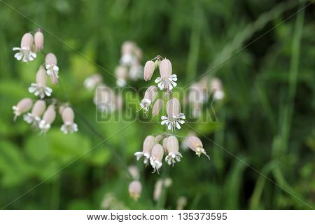 Flower of a bladder campion (Silene vulgaris)