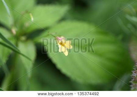 Flower of a Small Balsam plant (Impatiens parviflora)