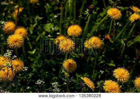 Yellow dandelions on green meadow in spring sunny day on grassy background