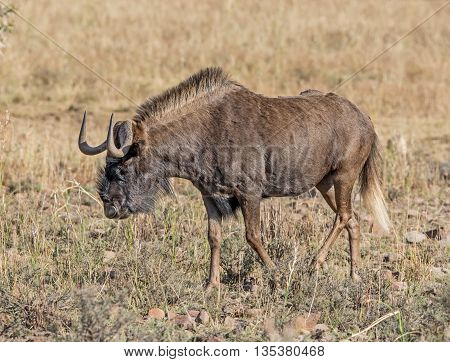 A lone Black Wildebeest walks through the Southern African savannah
