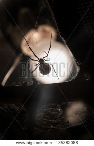 Southern black widow - poisonous spider - detail