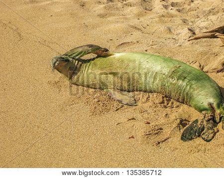 Baby Hawaiian monk seal sleeping on the beach, Kauai, Hawaii, Usa.
