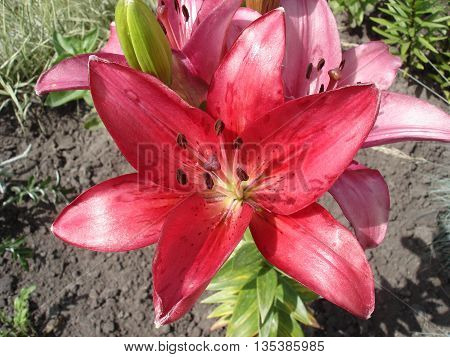 Hybrids liliy pink-red flowers and buds .