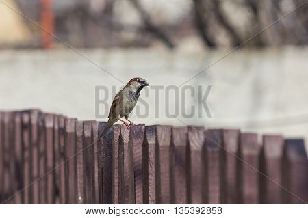 House sparrow perched on a tree branch.
