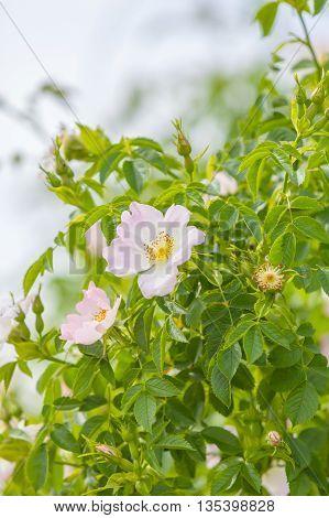White flowers in summer garden, briar as background