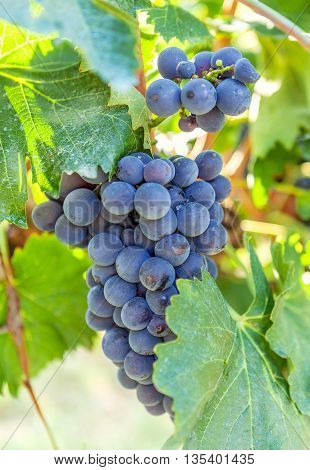 Single bunch of dark blue grapes on vineyard background. Ripe juicy vine closeup.