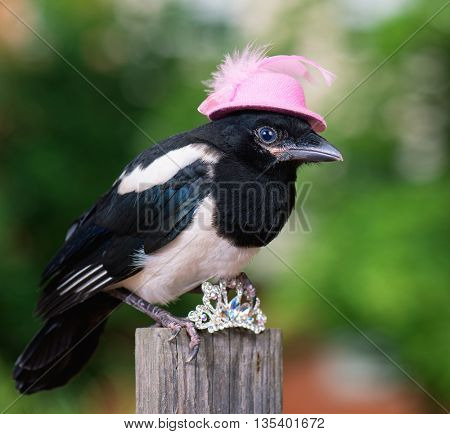 Bird in pink hat with small jewelry. Magpie thief stealing a shine jewellery.