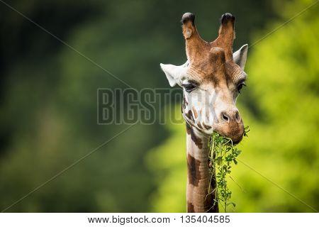 Giraffe (Giraffa camelopardalis) on green background