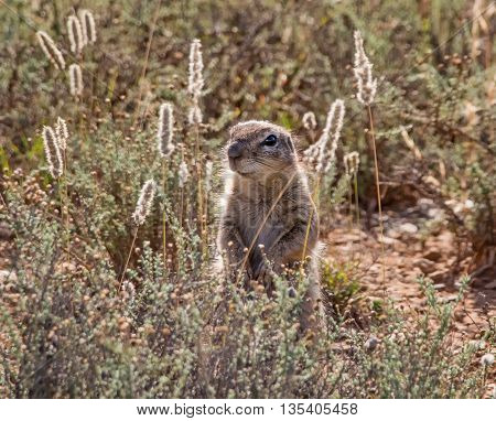 An African Ground Squirrel forages in grassland in Southern Africa