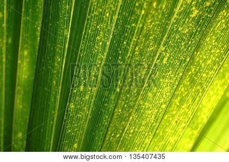 Green Palm leaf background in sun light