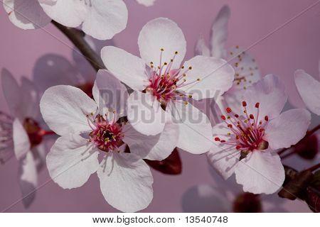 Plum Tree Blossoms Closeup