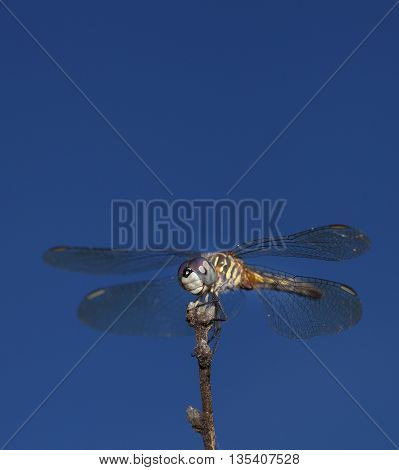 Big dragonfly sitting on a stick looking for flying bugs to eat