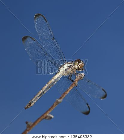Dragonfly on a stick seen from slightly below