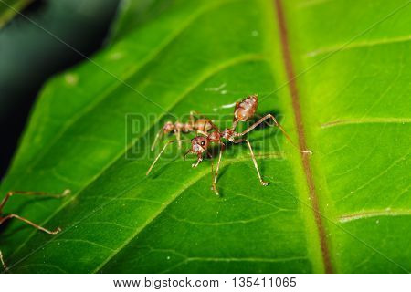 Red ant on a leaves green background