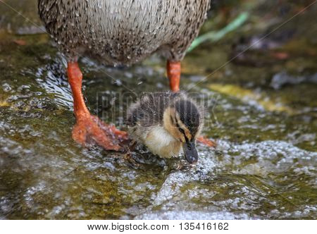 baby mallard duckling eating in the water in front of its mother