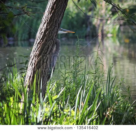 a heron in a local wildlife sanctuary park hunting for fish