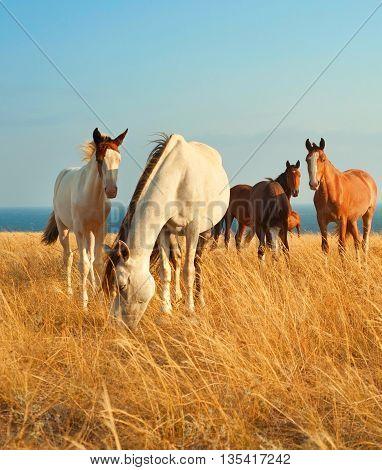 Herd of horses in Crimean prairie in front of the sea