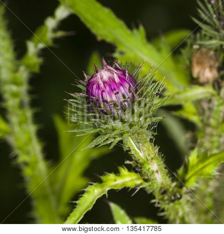 Blooming Thistle Carduus flower bud macro with bokeh background selective focus shallow DOF