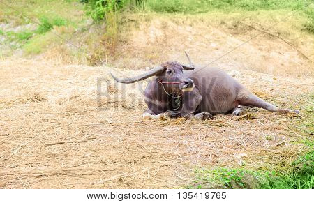 buffalo laying down on field background after work on rice farm field