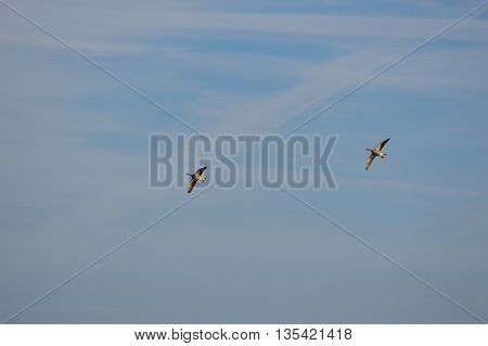 Couple mallard ducks flying over with wings spread