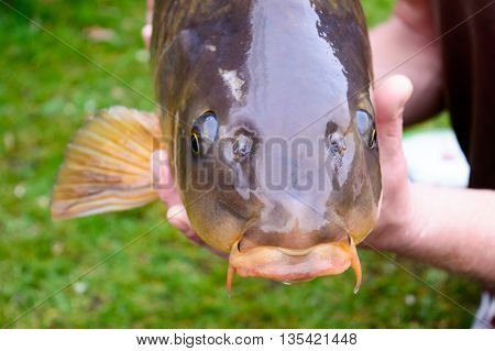 Carp fish head closeup in the hands of the person who cautgh it