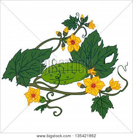 Cucumber Isolated on White. Flat Design Style. Vector illustration. Cartoon vector Illustration.
