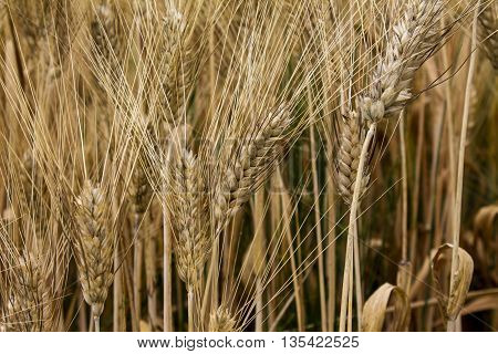 Beautiful yellow wheat field in vintage style, countryside, crop cultivation, dry rye stems, harvest season