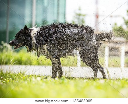 Border Collie shaking himself dry after a swim.