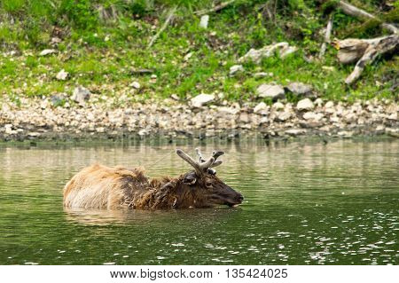 An elk swimming in lake in the wilds