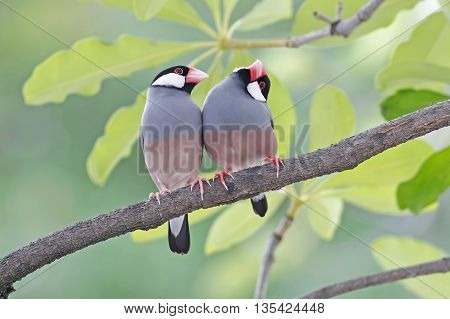Java sparrow Java finch Lonchura oryzivora Birds of Thailand