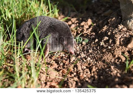 Mole in the garden. Mole - Talpa europaea. Mole on dirt.