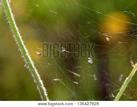 picture of a various incsects caught in a spiders web.