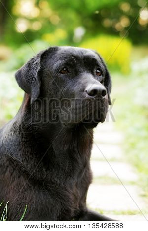beautiful black Labrador dog Retriever in the summer on the nature looking sad portrait closeup