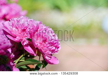 A beautiful blooming peony bush with pink flowers in the gardenBig pink flowers.