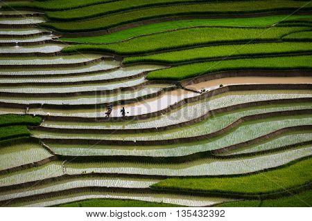 Farmers in terraced rice field in water season in Mu Cang Chai, Vietnam.
