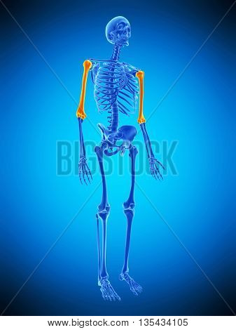 3d rendered, medically accurate illustration of the skeletal humerus