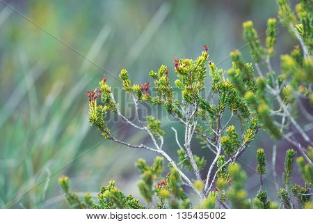 Green plant twigs with needles, Coniferous branches with young shoots light green