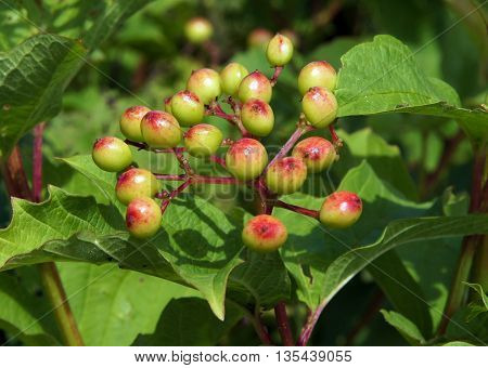 Unripe berries of the guelder rose (Viburnum opulus)