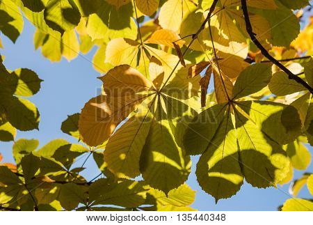 closeup of chestnut leaves in autumn against sky